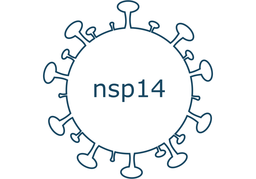 nsp14 protein sars-cov-2