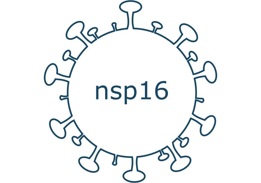 nsp16 protein sars-cov-2