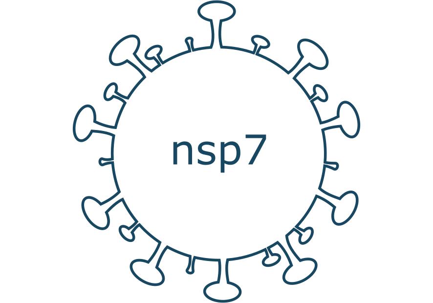 nsp7 protein sars-cov-2